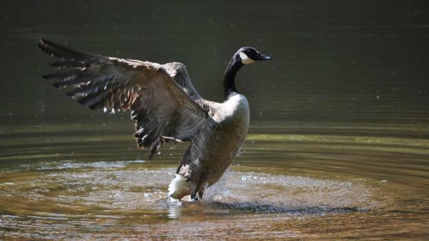 Canada Goose Seven