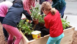 Kashi planting