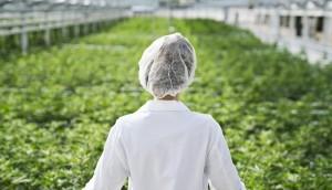 medical-marijuana-greenhouse