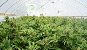 Large Indoor Marijuana Legal Recreational Commercial Growing Operation