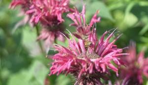 evergreenbee