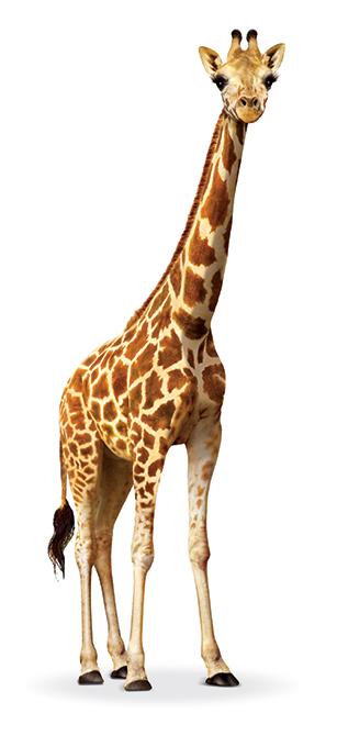 Giraffe_Front_Pose_m